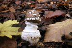 Amanita pantherina 4887piero.jpg